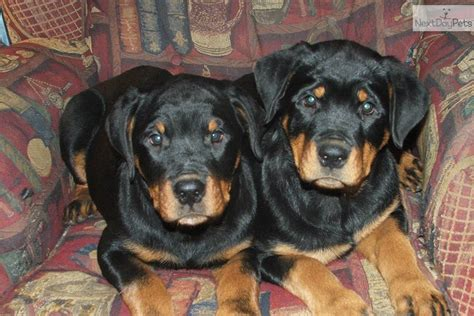 rottweilers for sale in tennessee rottweiler for sale for 800 near tennessee c270427b a5b1