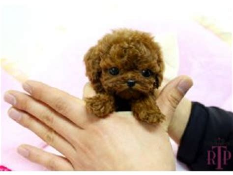 teacup puppies for sale in va teacup poodle puppies for sale in virginia