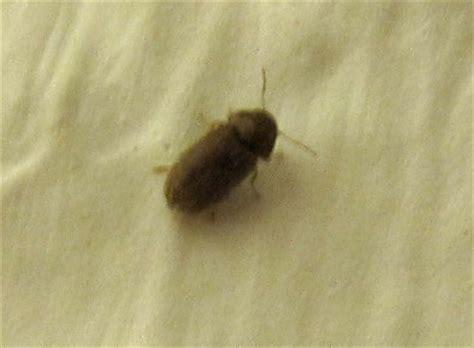 kleine schwarze käfer in wohnung k 252 che kleine braune k 228 fer k 252 che kleine braune k 228 fer