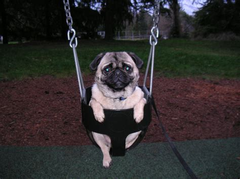 pug abuse pug on a swing no pugs were harmed in the taking of this andrew becraft flickr