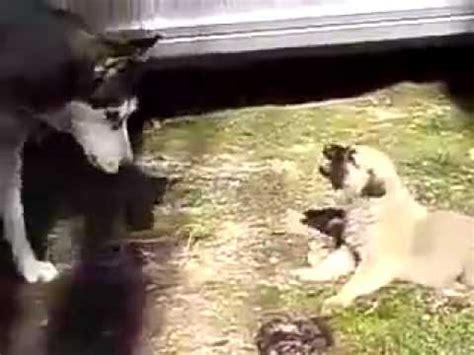 Huskies Turkis baby turkish kangal vs siberian husky