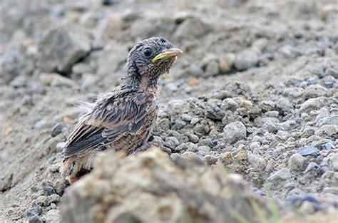 Alas Kandang Tulungagung panduan awal penangkaran burung decu om kicau