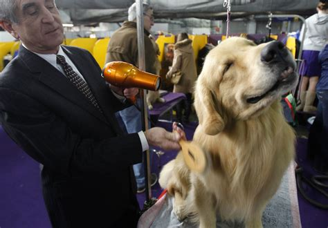 westminster golden retriever 2016 137th westminster kennel club show toronto