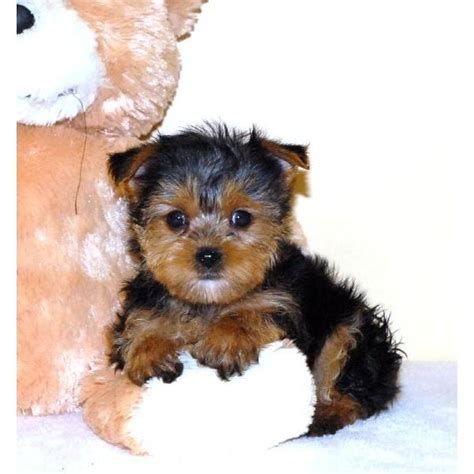 raising a teacup yorkie teacup yorkie puppy teacup yorkie puppies teacup yorkie