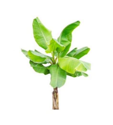 Pflege Bananenpflanze by Bananenstaude Musa Basjoo Pflanzen Pflegen Und 252 Berwintern