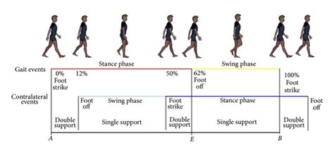 swing phase of gait the golden ratio of gait harmony repetitive proportions