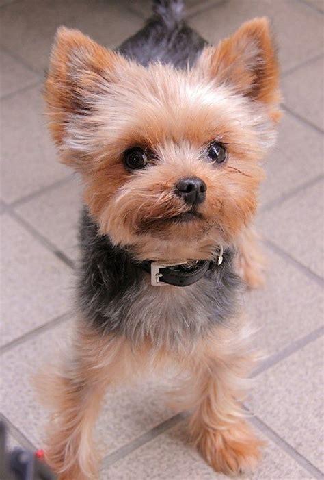 can yorkies eat potatoes the 25 best terrier haircut ideas on yorkie hair cuts yorkie