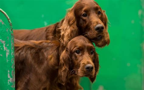 crufts    show review  rousing  action