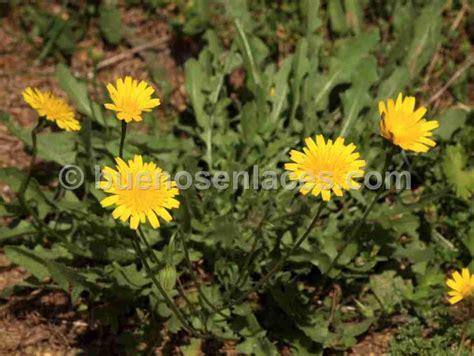 imagenes de flores medicinales dibujos y fotos de plantas medicinales