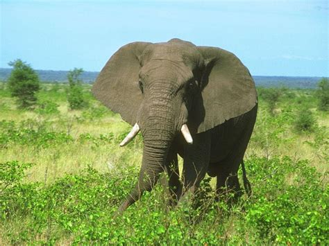 Elephant Matting by Elephants Mating Breeds Picture