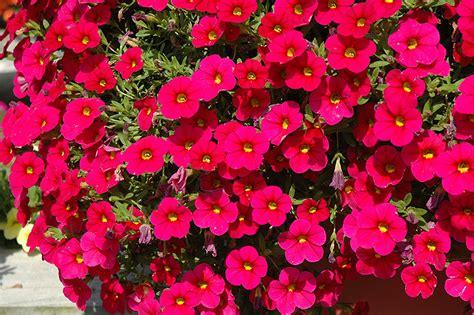 the cabaret of plants cabaret cherry rose calibrachoa calibrachoa cabaret cherry rose in wilmette chicago evanston