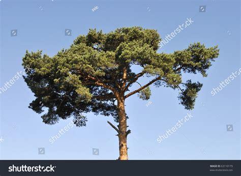 crown pine tree on blue sky stock photo 63110179