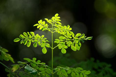 Teh Moringa moringa one of the world s most abundant sources of vitamins and minerals reset me
