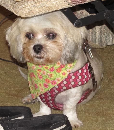 how do you pronounce shih tzu suggestions for a small page 5 the hull boating and fishing forum