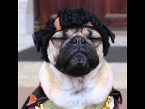 notorious pug notorious p u g doug the pug