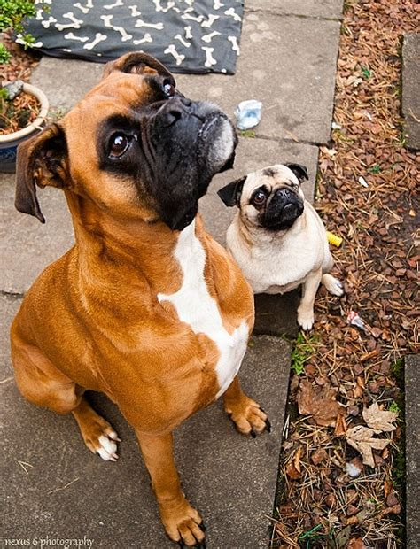 pug and boxer pugpugpug can a boxer puppy and a pug puppy grow up together