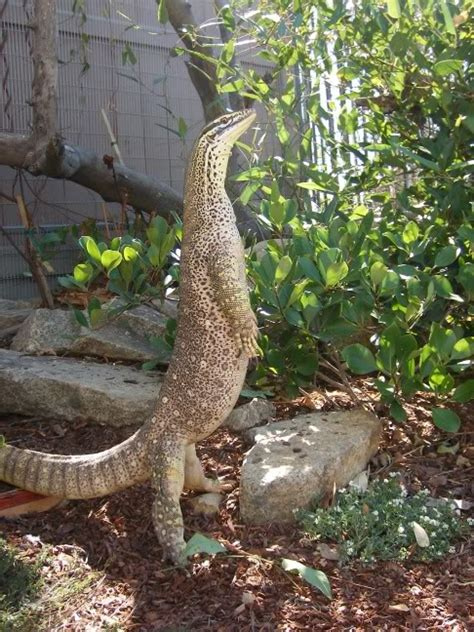 argus monitor facts  pictures reptile fact