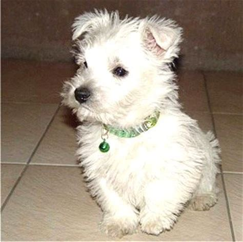 yorkie white terrier white www pixshark images galleries with a bite