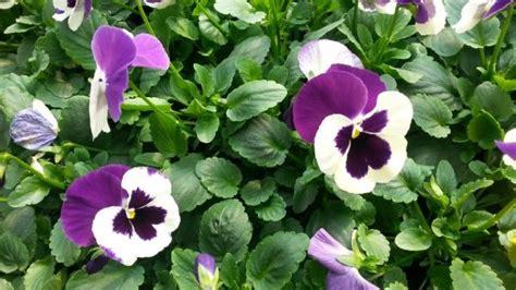 viole in vaso vendita piantine di viole pensiero colori assortiti