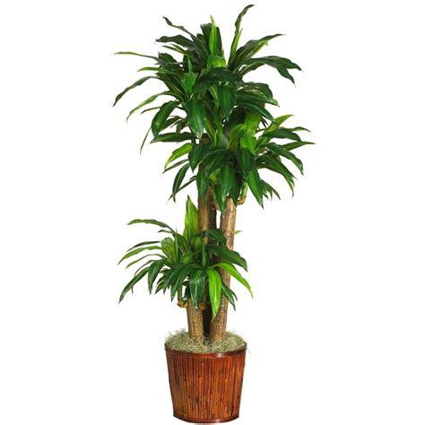 tronchetto pianta appartamento tronchetto felicit 224 piante da interno tronchetto della