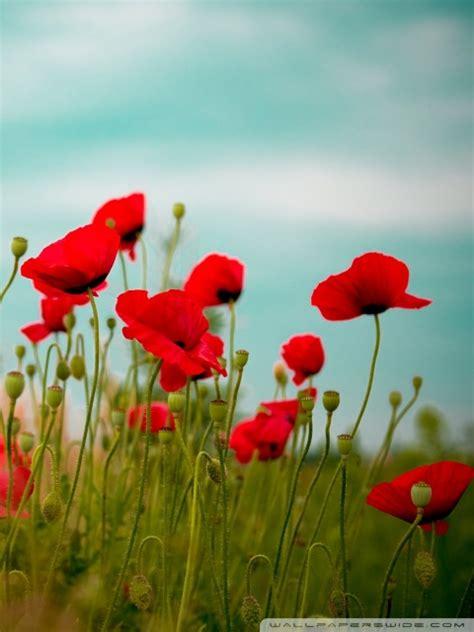 beautiful poppy field  hd desktop wallpaper   ultra