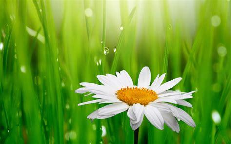wallpaper grass flower wallpaper daisy droplets green grass 4k flowers 3582