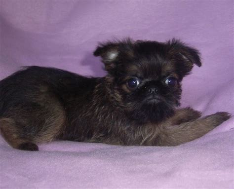 brussel griffon pug mix 17 best images about pug mixes on chugs chihuahuas and miniature