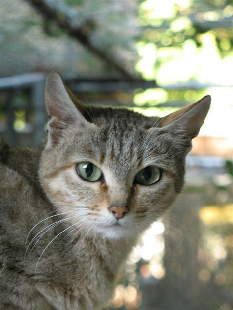 Lynx House Cat by Lynx House Cat Mix