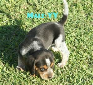 beagle puppies for sale in louisiana rabbit beagle dogs sale