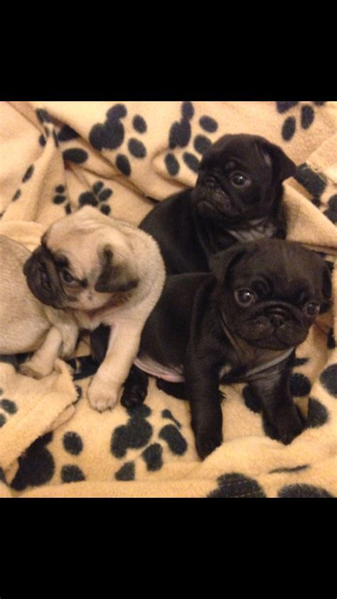 pug puppies for sale in dorset 4 tiny kc reg pug puppies for sale dorchester dorset pets4homes