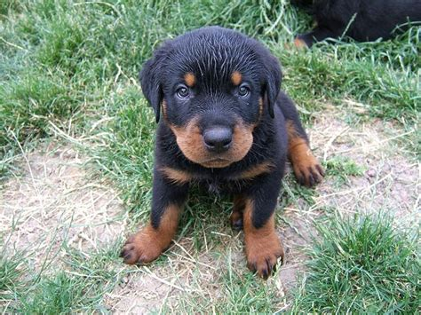 rottweiler puppies on craigslist rottweiler on pets craigslist in mississippi dogs in our photo