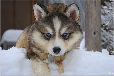 siberian huskies puppies siberian husky facts siberian husky traits