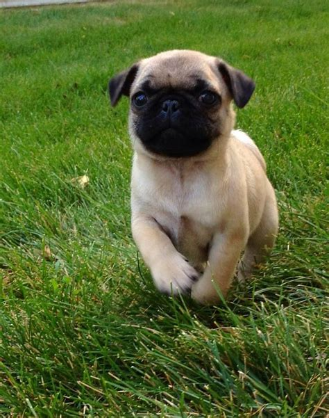 baby pug pictures pictures of baby pugs www imgkid the image kid has it