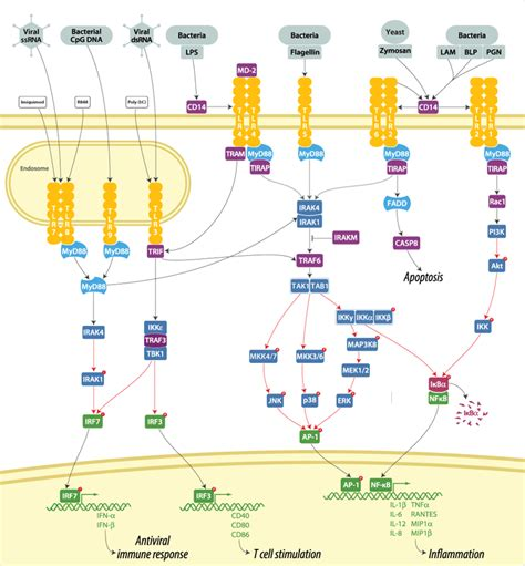 genes encoding pattern recognition receptors toll like receptor tlr signaling plays an essential role