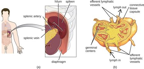 diagram of spleen anatomy of the circulatory and lymphatic systems