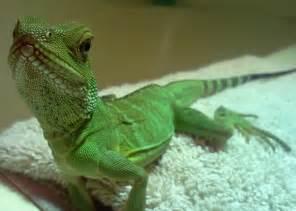 lizards as pets