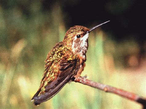hummingbirds in folklore and legend the british columbia