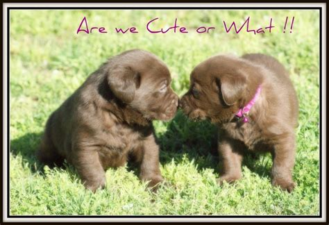 lab puppies alabama labrador retriever kennels in alabama dogs in our photo