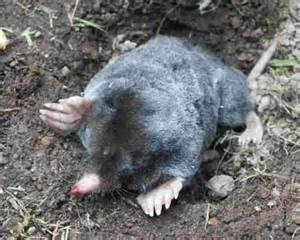 Garden Mole by Moles How To Identify And Eliminate Pests In The Garden