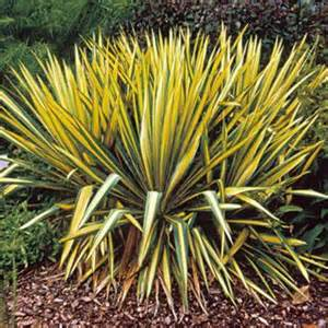 yucca color guard sapphire skies yucca reviews seedratings