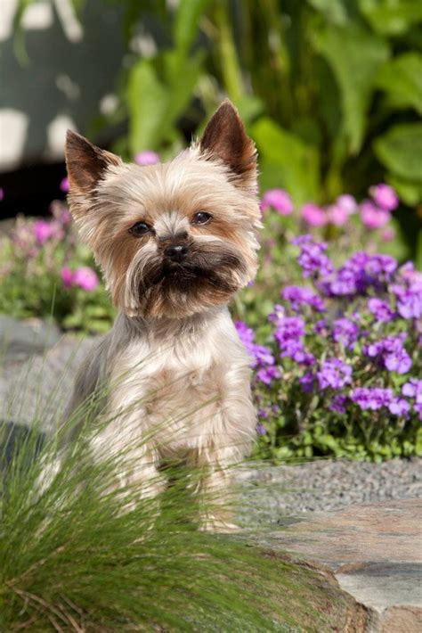 boy yorkie puppy names puppy names top 10 black models picture