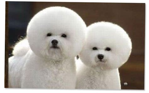 snowball puppy what s in what s out puppy grooming trends for 2013 blitz
