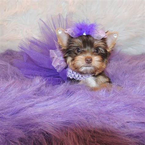 chocolate yorkie chocolate yorkie puppy for sale candice teacup yorkies sale