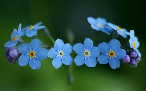 nontiscordardime fiore non ti scordar di me significato dei fiori non ti