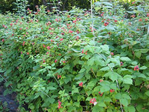 Raspberry Garden by Raspberries Newenglandgardenandthread
