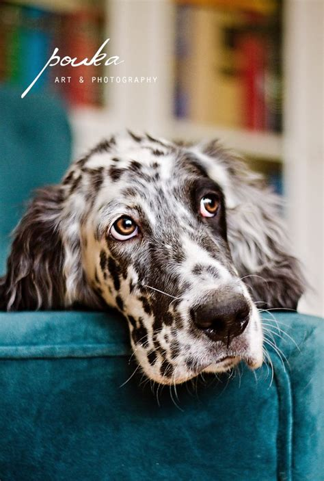 female english setter dog names the 25 best english setters ideas on pinterest english