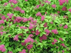 Pink Flowering Shrub - pink flowering bushes and shrubs pink blooming spires and they are great landscape shrubs