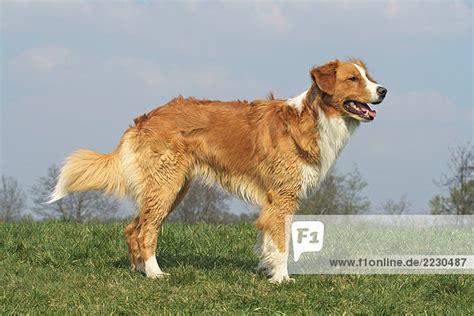 leonberger golden retriever mischlingshund leonberger golden retriever stehend auf wiese mischlingshund