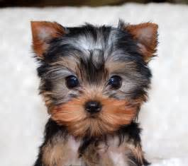 tiny teacup yorkie puppies for sale in louisiana m 225 s de 25 ideas incre 237 bles sobre teacup yorkie en yorkies cachorritos