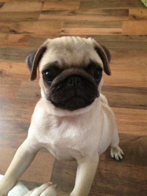 fawn pug for sale beautiful fawn pug puppy for sale liverpool merseyside pets4homes